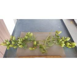 GLH Arcadian Hops Plant -...